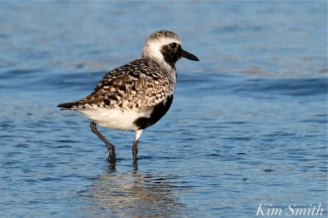 Black-bellied Plover GHB Gloucester MA copyright Kim Smith - 11