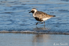 Black-bellied Plover GHB Gloucester MA copyright Kim Smith - 13