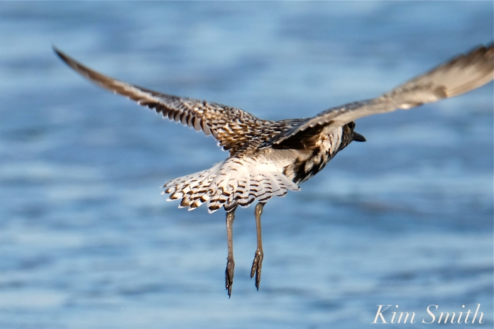 Black-bellied Plover GHB Gloucester MA copyright Kim Smith - 15