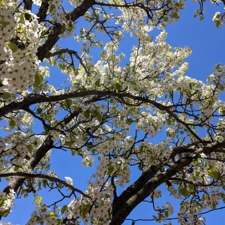 blue sky blossoms_20190511_©c ryan