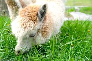 Charlotte Angies Alpacas -2 copyright Kim Smith