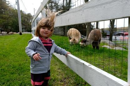 Charlotte Angies Alpacas -4 copyright Kim Smith