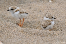 Hours-old Piping Plover Chicks copyright Kim Smith - 10