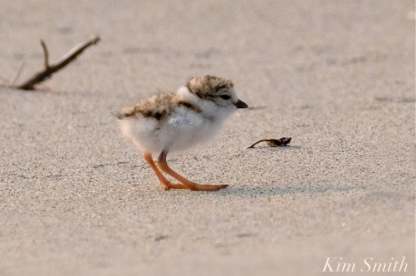 Hours-old Piping Plover Chicks Gloucester MA copyright Kim Smith - 09