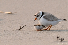 Hours-old Piping Plover Chicks Gloucester MA copyright Kim Smith - 10