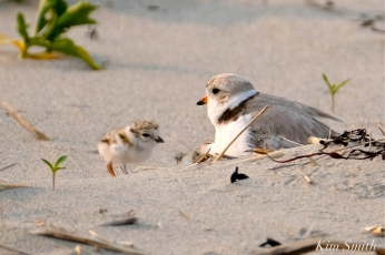 Hours-old Piping Plover Chicks Gloucester MA copyright Kim Smith - 17