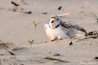 Hours-old Piping Plover Chicks Gloucester MA copyright Kim Smith - 18