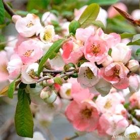 Japanese Flowering Quince Chaenomoles speciosa Toy-nishiki -2 copyright Kim Smith