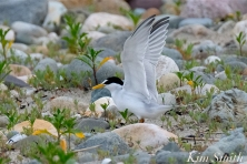 Least Tern Nesting -3 Massachusetts copyright Kim Smith