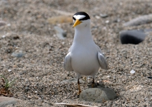 Least Tern Nesting Massachusetts -2 copyright Kim Smith
