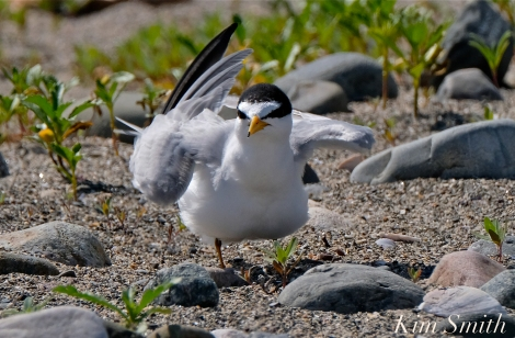 Least Tern Nesting Massachusetts copyright Kim Smith