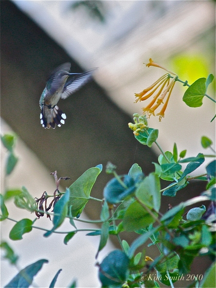 lonicera-john-clayton-copyright kim-smith-2010