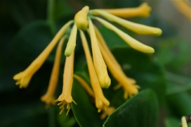lonicera-sempervirens-john-clayton copyright Kim Smith