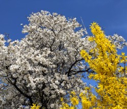looking up for spring_spring blossoms blue sky_20190506_© c ryan