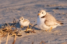 piping-plover-13-day-old-chick-good-harbor-beach-gloucester-ma-copyright-kim-smith