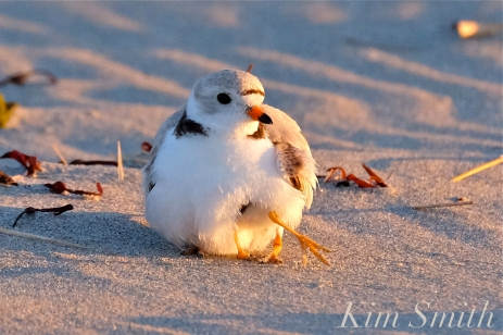piping-plover-chick-five-days-old-adult-female-good-harbor-beach-copyright-kim-smith