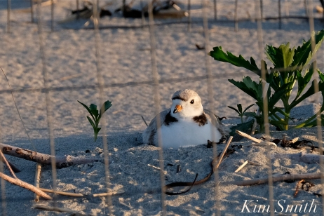 Piping Plover Female nesting Good Harbor beach copyright Kim Smith