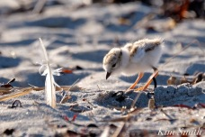 piping-plover-foraging-for-insects-five-days-old-food-harbor-beach-copyright-kim-smith