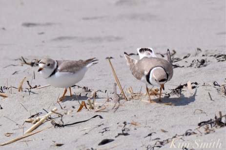 piping-plovers-male-female-nest-scrape-copyright-kim-smith