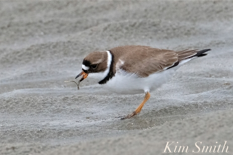 Semi-palmated Plover Good Harbor Beach -2 copyright Kim Smith