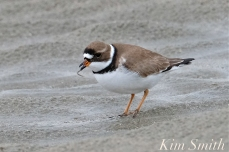 Semi-palmated Plover Good Harbor Beach -3 copyright Kim Smith