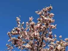 spring blooms magnolia blossoms _Gloucester MA_new england _20190513_©c ryan (2)