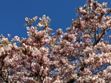 spring blooms magnolia blossoms _Gloucester MA_new england _20190513_©c ryan