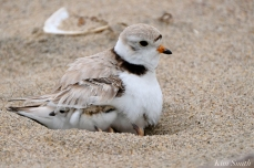 Under Wing Hours-old Piping Plover Chicks copyright Kim Smith - 03