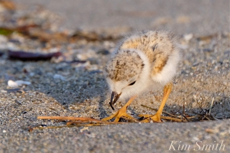 what-do-piping-plover-chicks-eat-copyright-kim-smith