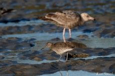Willet Good Harbor Beach Gloucester MA -3 copyright Kim Smith