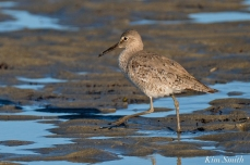 Willet Good Harbor Beach Gloucester MA -7 copyright Kim Smith