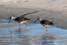 Yellow Legs Good Harbor Beach Massachusetts copyright Kim Smith