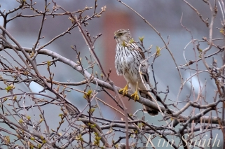 Coopers Hawk Immature GHB Gloucester MA copyright Kim Smith