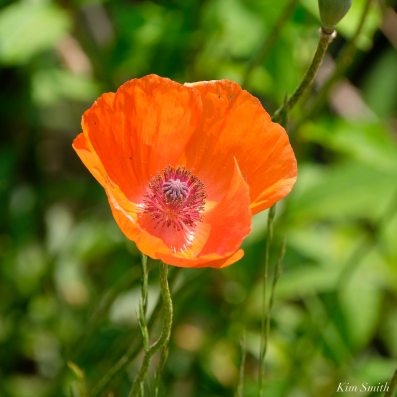 Field Poppies copyright Kim Smith