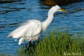 Great Egret GHB Gloucester MA copyright Kim Smith - 05 copy