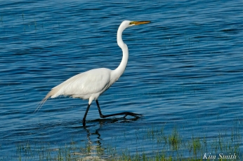Great Egret GHB Gloucester MA copyright Kim Smith - 07 copy