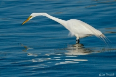Great Egret GHB Gloucester MA copyright Kim Smith - 08 copy