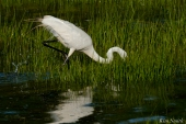 Great Egret GHB Gloucester MA copyright Kim Smith - 14 copy