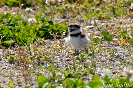 Killdeer Chick Gloucester MA -2 copyright Kim Smith