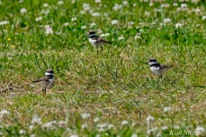 Killdeer Chicks Gloucester MA -2 copyright Kim Smith