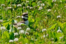 Killdeer Chicks Gloucester MA -3 copyright Kim Smith