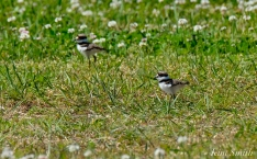 Killdeer Chicks Gloucester MA copyright Kim Smith