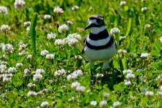 Killdeer Gloucester MA -2 copyright Kim Smith