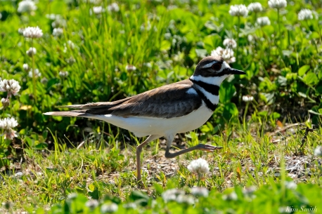 Killdeer Gloucester MA -6 copyright Kim Smith