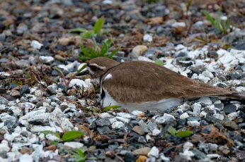 Killdeer Nesting Parking Lot Gloucester MA -2 copyright Kim Smith