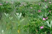 Milkweed and Beach Roses Good Harbor Beach Gloucester MA copyright Kim Smith - 23