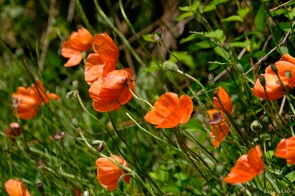 Orange Field Poppies -2 copyright Kim Smith