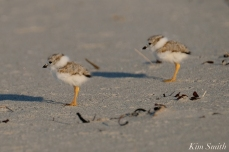 Piping Plover chick 10 days old Gloucester MA copyright Kim Smith - 15