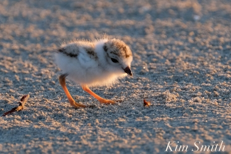 Piping Plover chick 7 days old eating a bug Gloucester MA copyright Kim Smith - 02