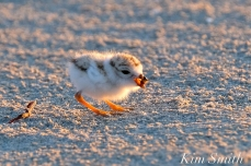 Piping Plover chick 7 days old eating a bug Gloucester MA copyright Kim Smith - 04